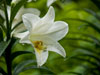 Easter lily with green
