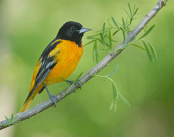 stock photo of songbird (Baltimore oriole)