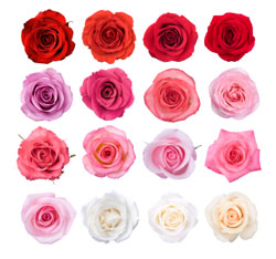 roses in a square