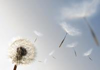 stock photo of dandelion