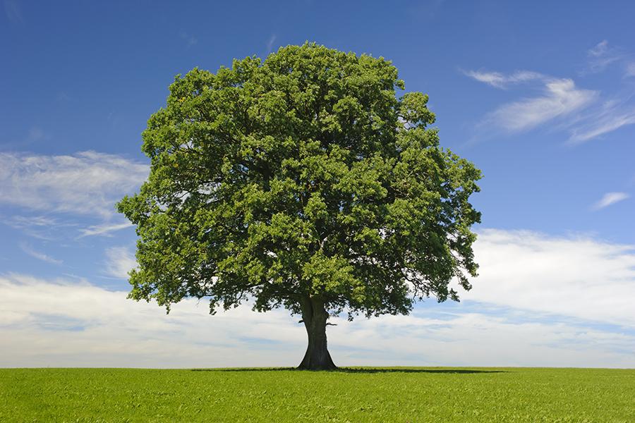 Oak tree for Tu Bishvat