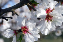 almond blooms